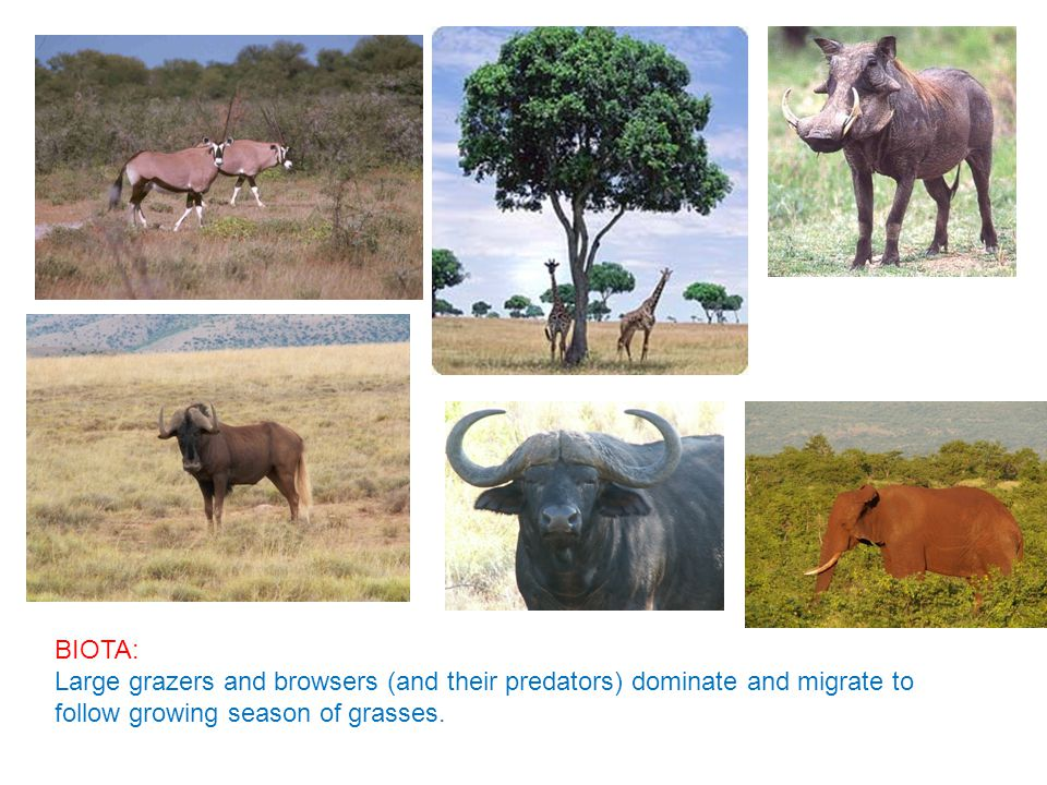 BIOTA: Large grazers and browsers (and their predators) dominate and migrate to follow growing season of grasses.