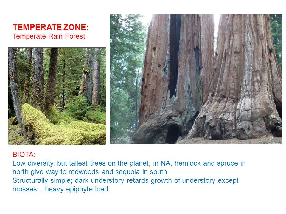 TEMPERATE ZONE: Temperate Rain Forest BIOTA: Low diversity, but tallest trees on the planet, in NA, hemlock and spruce in north give way to redwoods and sequoia in south Structurally simple; dark understory retards growth of understory except mosses...