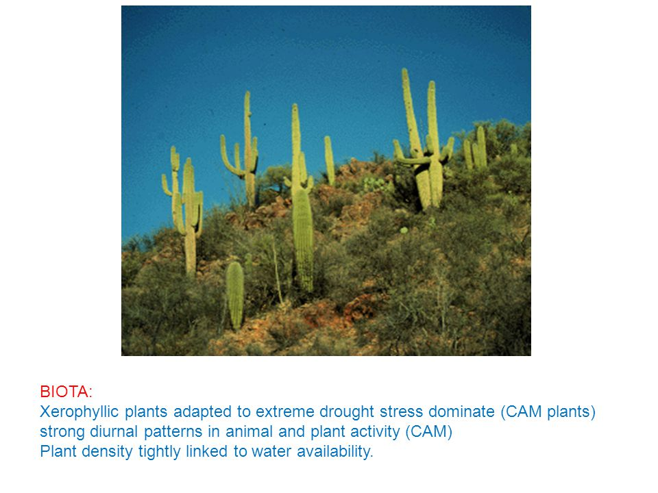 BIOTA: Xerophyllic plants adapted to extreme drought stress dominate (CAM plants) strong diurnal patterns in animal and plant activity (CAM) Plant density tightly linked to water availability.