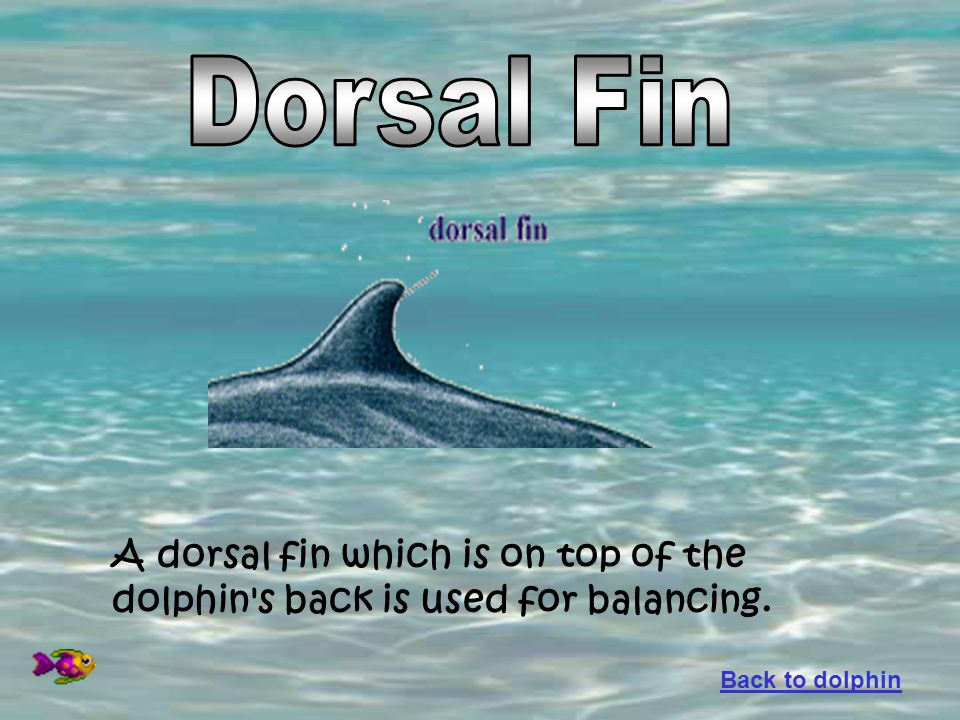A dorsal fin which is on top of the dolphin's back is used for balancing. Back to dolphin