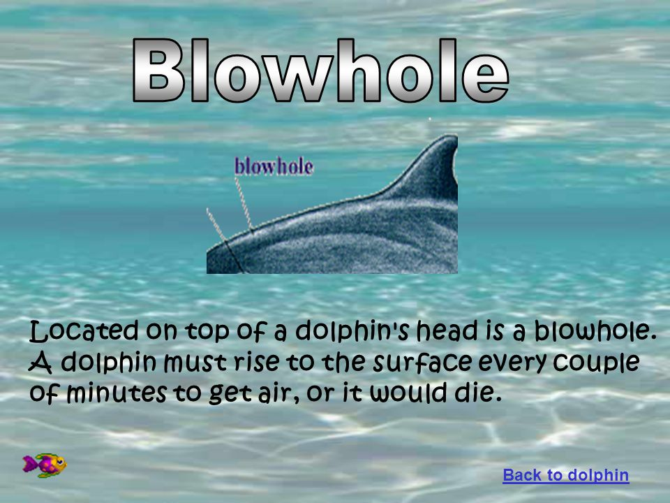 Located on top of a dolphin's head is a blowhole. A dolphin must rise to the surface every couple of minutes to get air, or it would die. Back to dolp
