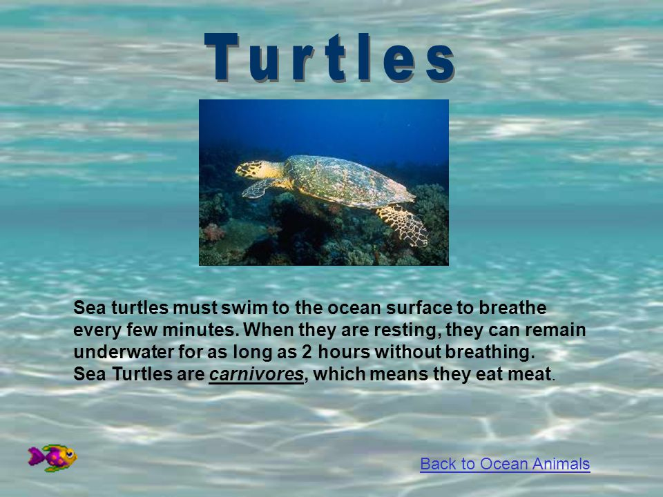 Sea turtles must swim to the ocean surface to breathe every few minutes. When they are resting, they can remain underwater for as long as 2 hours with