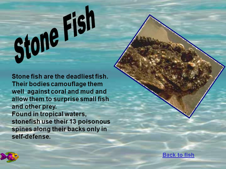 Stone fish are the deadliest fish. Their bodies camouflage them well against coral and mud and allow them to surprise small fish and other prey. Found