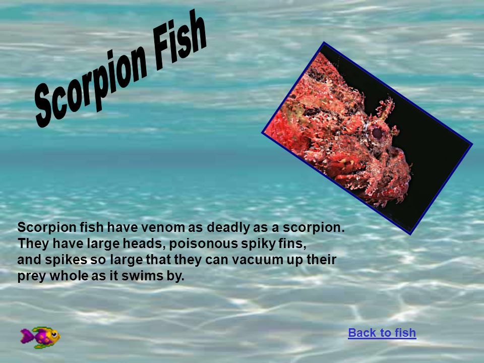 Scorpion fish have venom as deadly as a scorpion. They have large heads, poisonous spiky fins, and spikes so large that they can vacuum up their prey