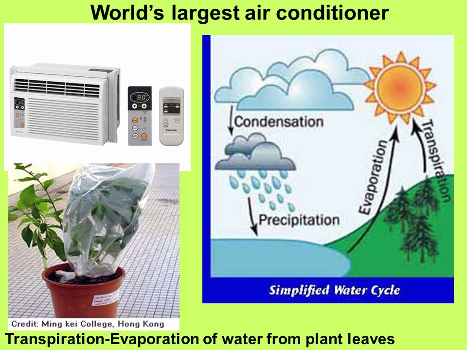 World's largest air conditioner Transpiration-Evaporation of water from plant leaves
