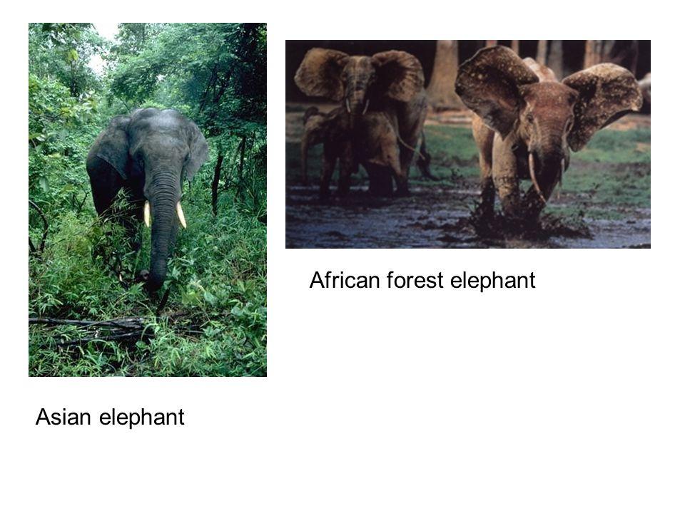 Asian elephant African forest elephant