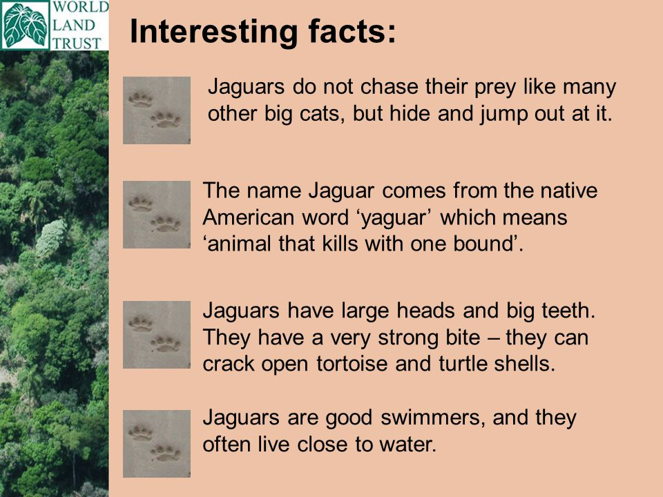 Jaguars are good swimmers, and they often live close to water.