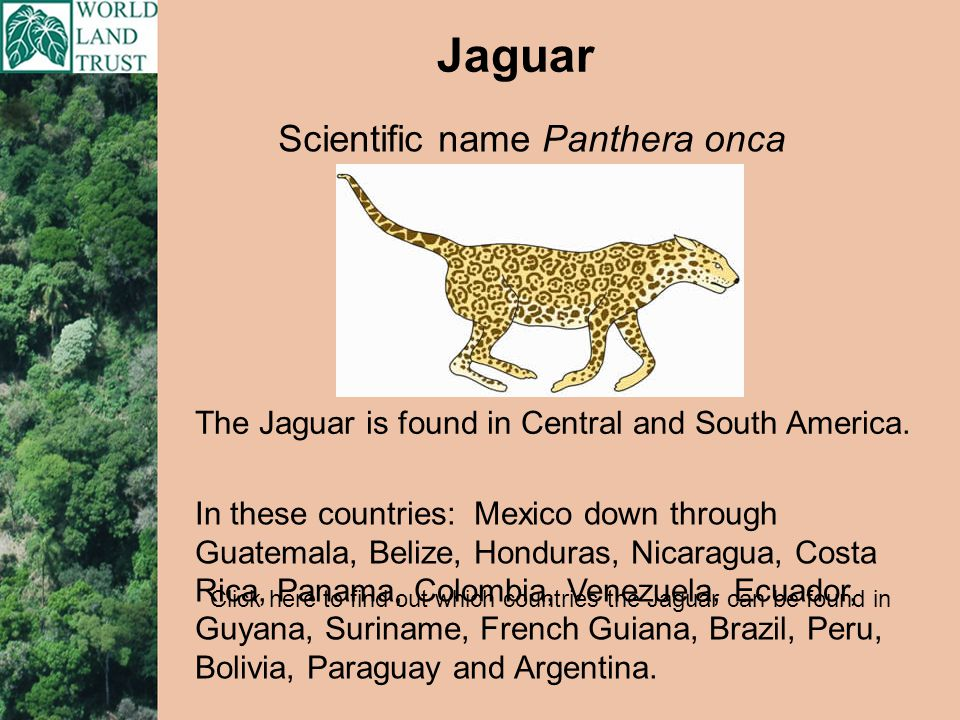 If you choose the Jaguar as your fundraising focus, your donation will go towards World Land Trust projects for the conservation of wildlife habitat in the Atlantic rainforest in Argentina.