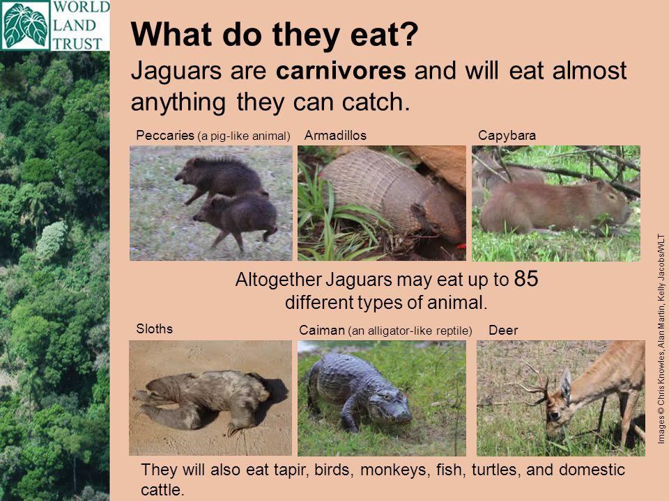 What do they eat. They will also eat tapir, birds, monkeys, fish, turtles, and domestic cattle.