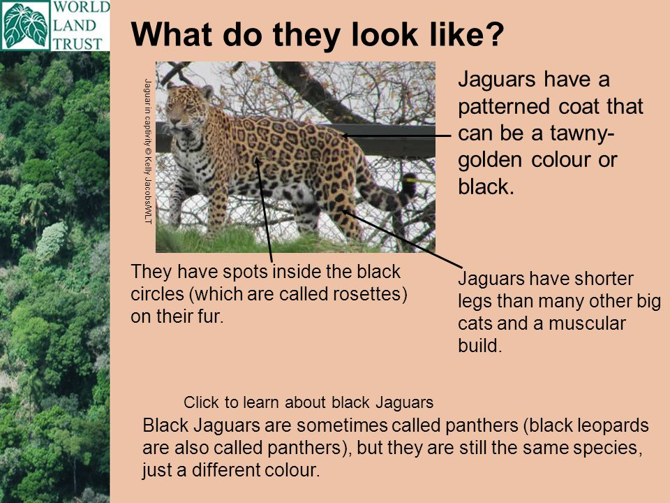 Tell me about their babies: A female Jaguar will raise 2 cubs, and they will stay with her for 2 years.