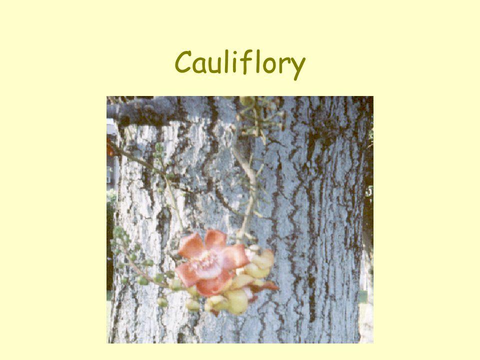 Cauliflory