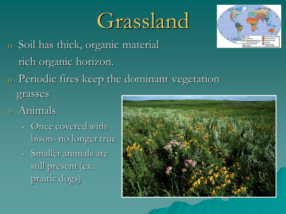 Grassland o Soil has thick, organic material rich organic horizon. o Periodic fires keep the dominant vegetation grasses grasses o Animals Once covere