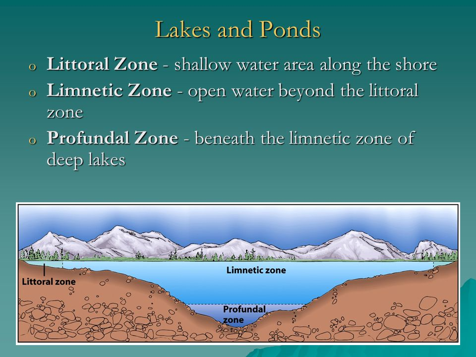 Lakes and Ponds o Littoral Zone - shallow water area along the shore o Limnetic Zone - open water beyond the littoral zone o Profundal Zone - beneath