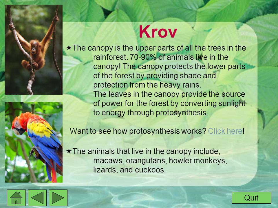 Krov  The canopy is the upper parts of all the trees in the rainforest.