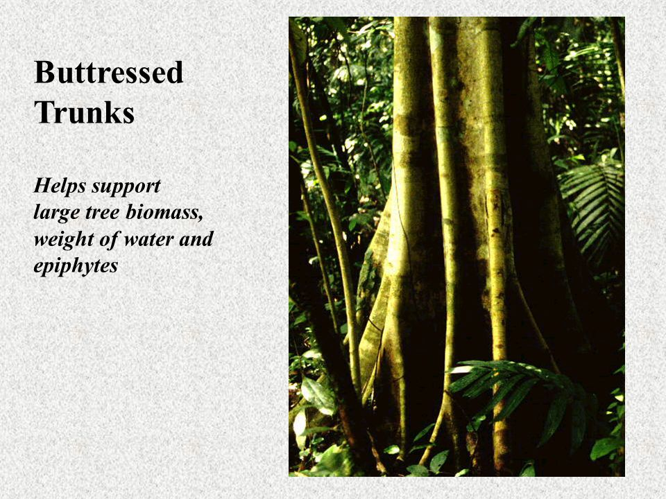 Buttressed Trunks Helps support large tree biomass, weight of water and epiphytes