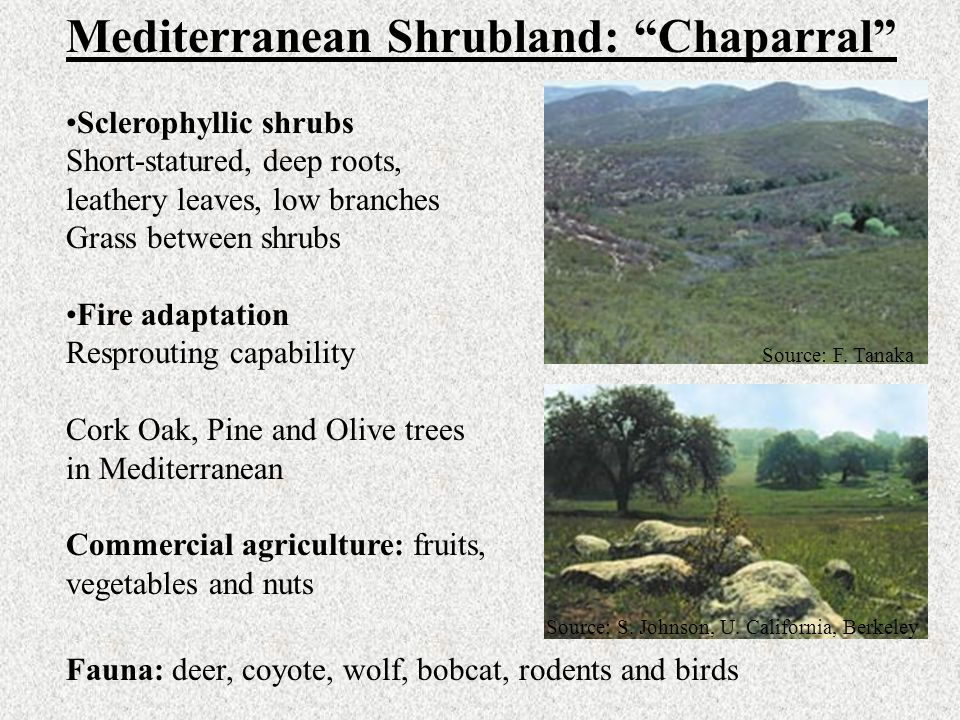 "Mediterranean Shrubland: ""Chaparral"" Sclerophyllic shrubs Short-statured, deep roots, leathery leaves, low branches Grass between shrubs Fire adaptati"