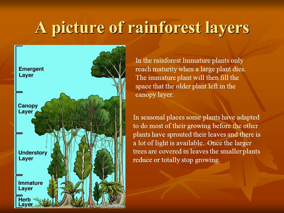 A picture of rainforest layers In the rainforest Immature plants only reach maturity when a large plant dies. The immature plant will then fill the sp