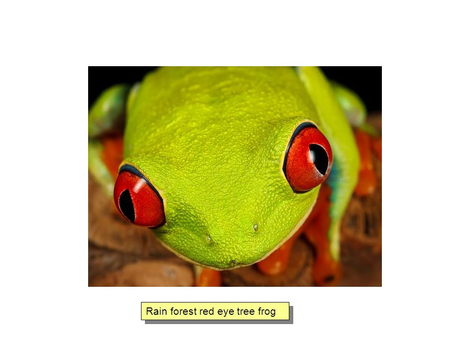 Rain forest red eye tree frog