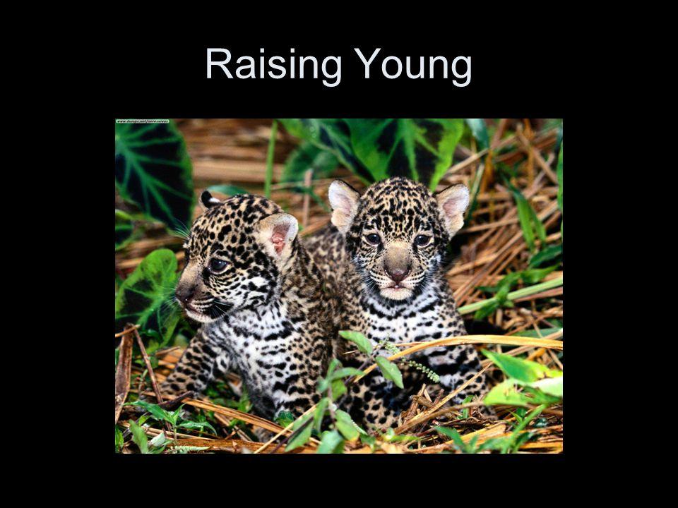 Jaguars seem to mate in any season.