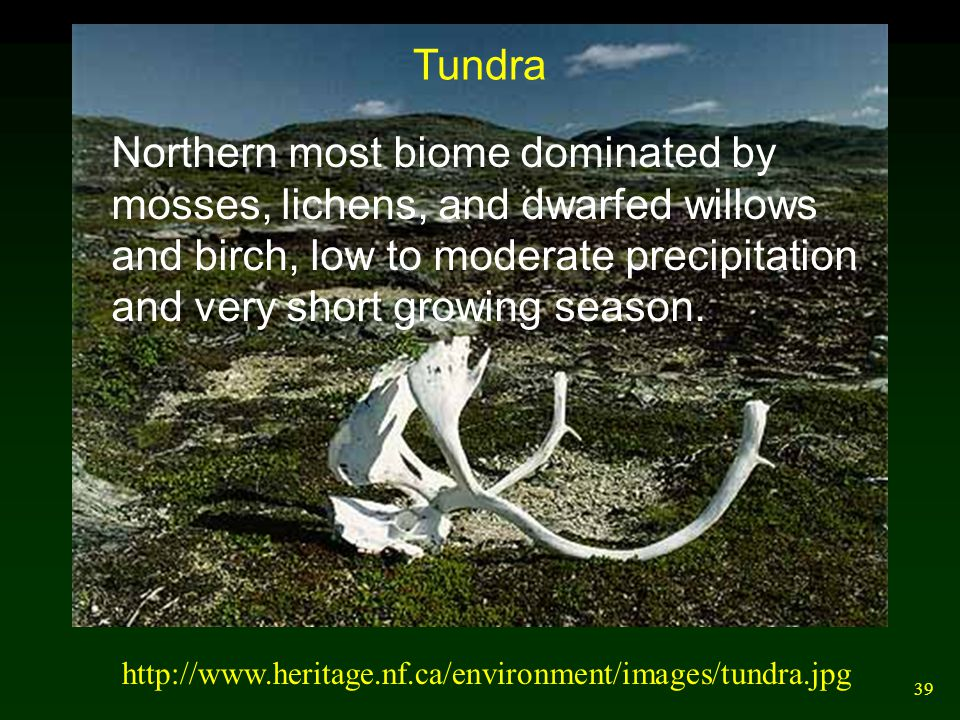 39 http://www.heritage.nf.ca/environment/images/tundra.jpg Tundra Northern most biome dominated by mosses, lichens, and dwarfed willows and birch, low