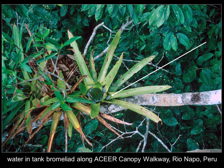 water in tank bromeliad along ACEER Canopy Walkway, Rio Napo, Peru