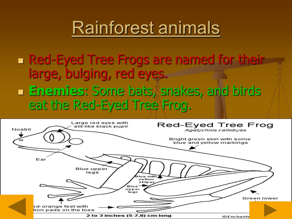 Rainforest animals Red-Eyed Tree Frogs are named for their large, bulging, red eyes.