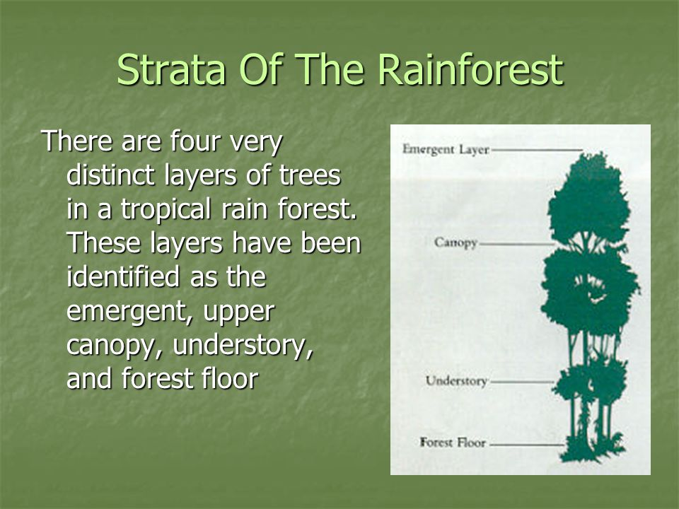 Strata Of The Rainforest There are four very distinct layers of trees in a tropical rain forest.