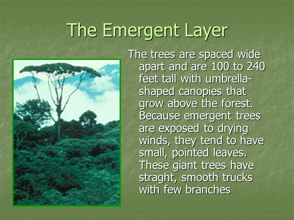 The Emergent Layer The trees are spaced wide apart and are 100 to 240 feet tall with umbrella- shaped canopies that grow above the forest.