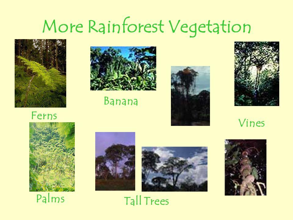More Rainforest Vegetation Vines Tall Trees Banana Ferns Palms