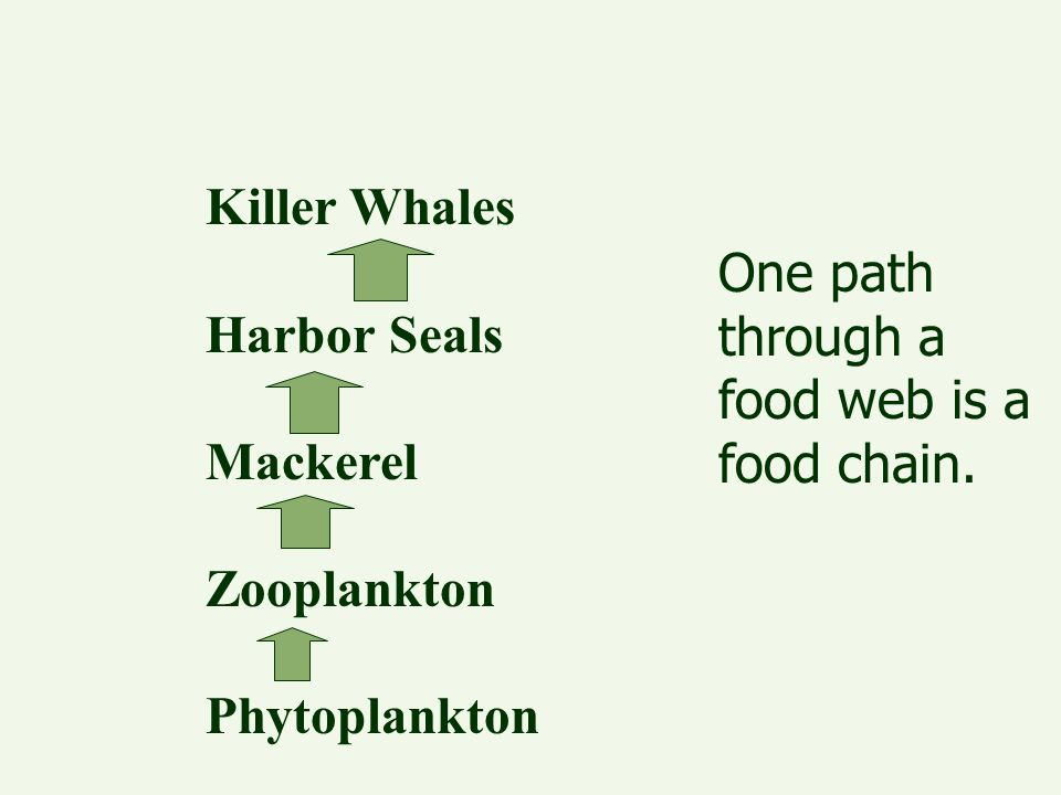 One path through a food web is a food chain. Killer Whales Harbor Seals Mackerel Zooplankton Phytoplankton