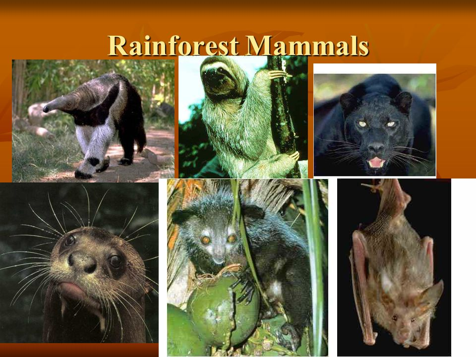 Rainforest Mammals