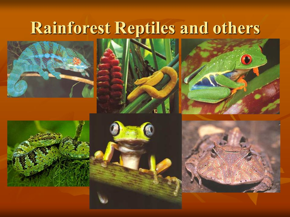 Rainforest Reptiles and others