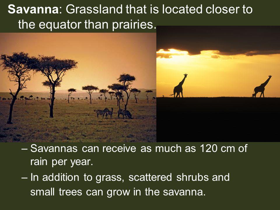 Savanna: Grassland that is located closer to the equator than prairies. –Savannas can receive as much as 120 cm of rain per year. –In addition to gras