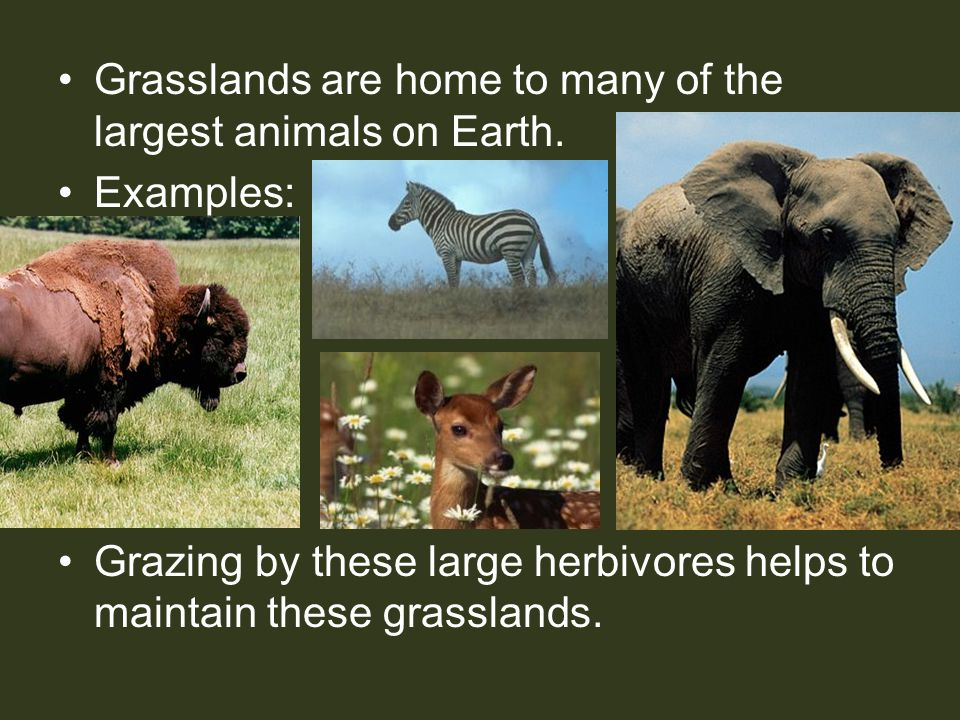 Grasslands are home to many of the largest animals on Earth. Examples: Grazing by these large herbivores helps to maintain these grasslands.