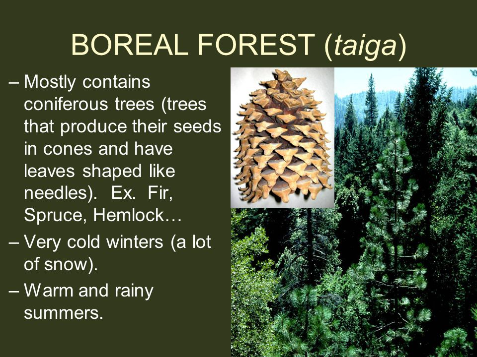 BOREAL FOREST (taiga) –Mostly contains coniferous trees (trees that produce their seeds in cones and have leaves shaped like needles). Ex. Fir, Spruce