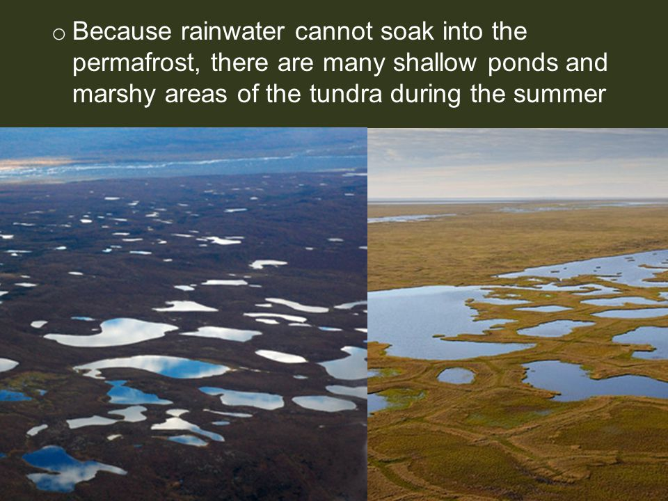 o Because rainwater cannot soak into the permafrost, there are many shallow ponds and marshy areas of the tundra during the summer