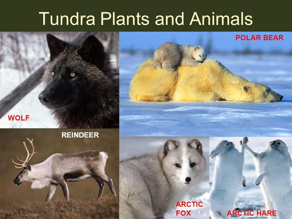 Tundra Plants and Animals POLAR BEAR WOLF REINDEER ARCTIC FOX ARCTIC HARE