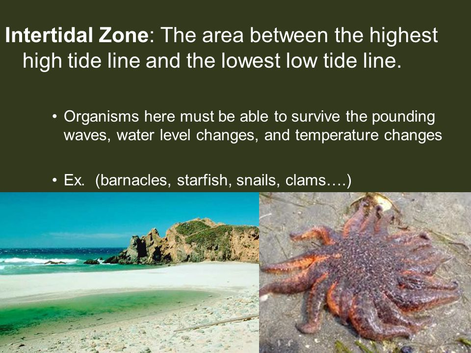 Intertidal Zone: The area between the highest high tide line and the lowest low tide line. Organisms here must be able to survive the pounding waves,