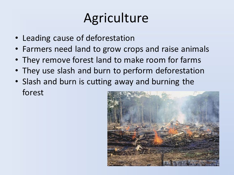 Agriculture Leading cause of deforestation Farmers need land to grow crops and raise animals They remove forest land to make room for farms They use slash and burn to perform deforestation Slash and burn is cutting away and burning the forest