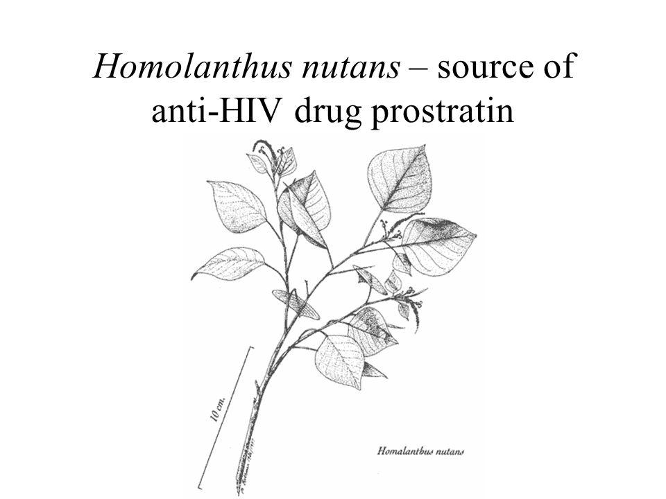 Homolanthus nutans – source of anti-HIV drug prostratin