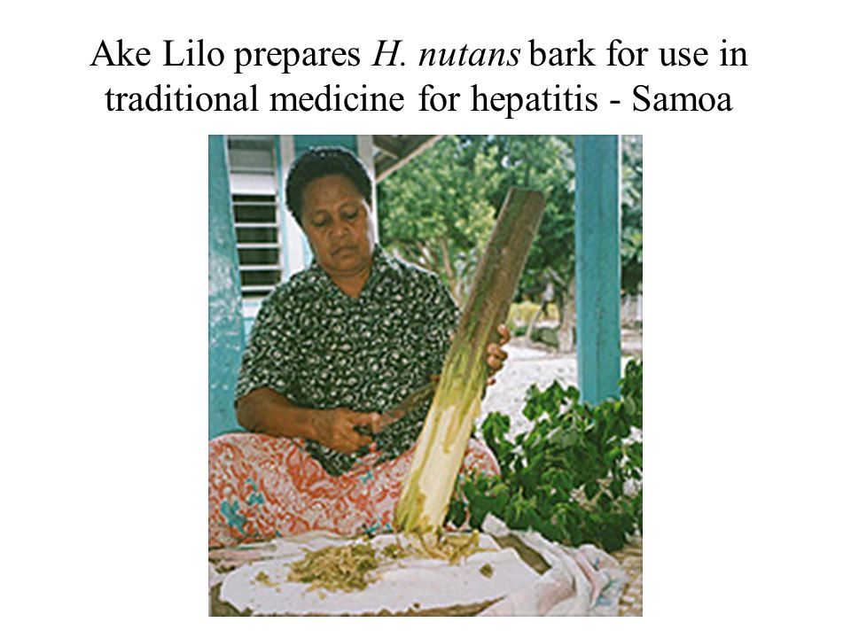 Ake Lilo prepares H. nutans bark for use in traditional medicine for hepatitis - Samoa