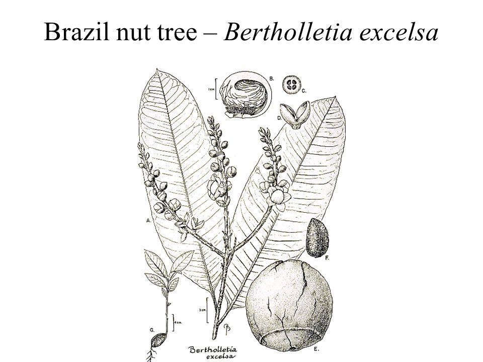 Brazil nut tree – Bertholletia excelsa