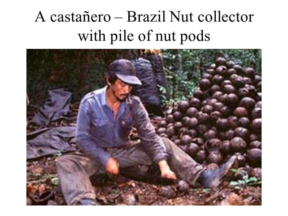 A castañero – Brazil Nut collector with pile of nut pods