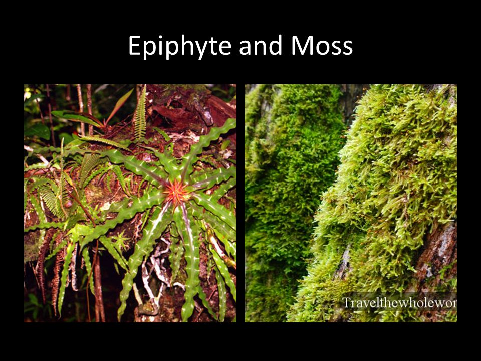 Epiphyte and Moss