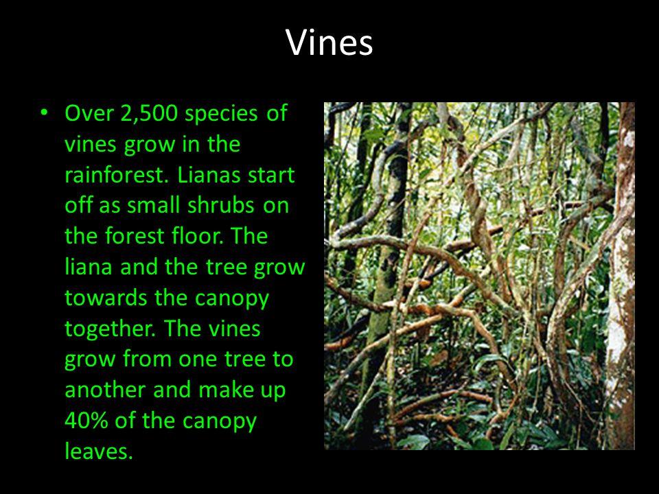 Vines Over 2,500 species of vines grow in the rainforest.