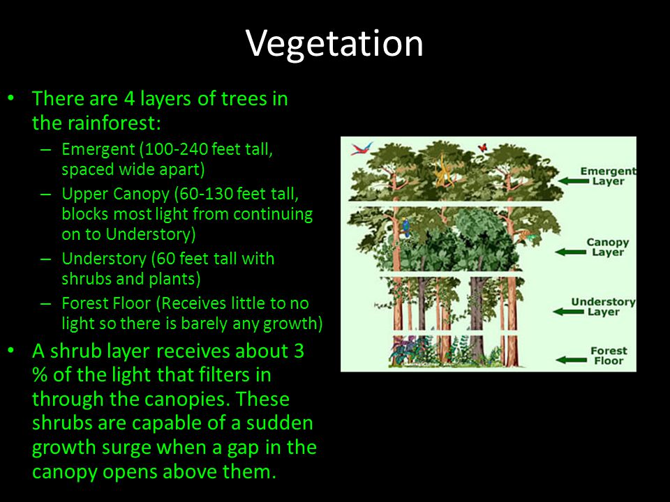Vegetation There are 4 layers of trees in the rainforest: – Emergent (100-240 feet tall, spaced wide apart) – Upper Canopy (60-130 feet tall, blocks most light from continuing on to Understory) – Understory (60 feet tall with shrubs and plants) – Forest Floor (Receives little to no light so there is barely any growth) A shrub layer receives about 3 % of the light that filters in through the canopies.