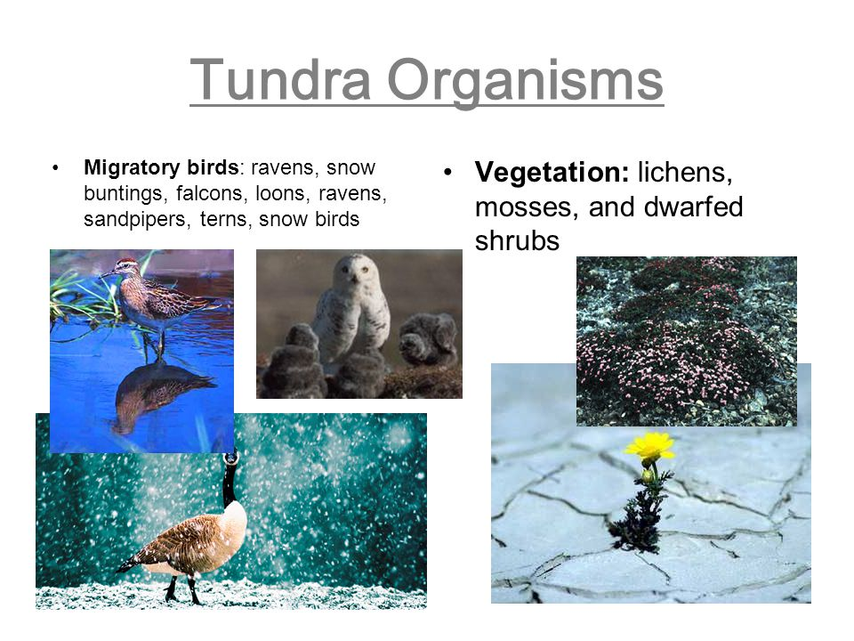 Tundra Organisms Migratory birds: ravens, snow buntings, falcons, loons, ravens, sandpipers, terns, snow birds Vegetation: lichens, mosses, and dwarfe