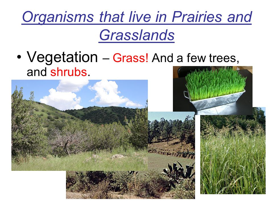 Organisms that live in Prairies and Grasslands Vegetation – Grass! And a few trees, and shrubs.