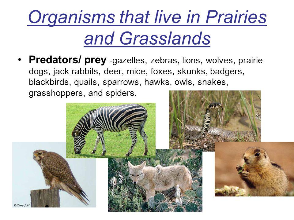 Organisms that live in Prairies and Grasslands Predators/ prey -gazelles, zebras, lions, wolves, prairie dogs, jack rabbits, deer, mice, foxes, skunks