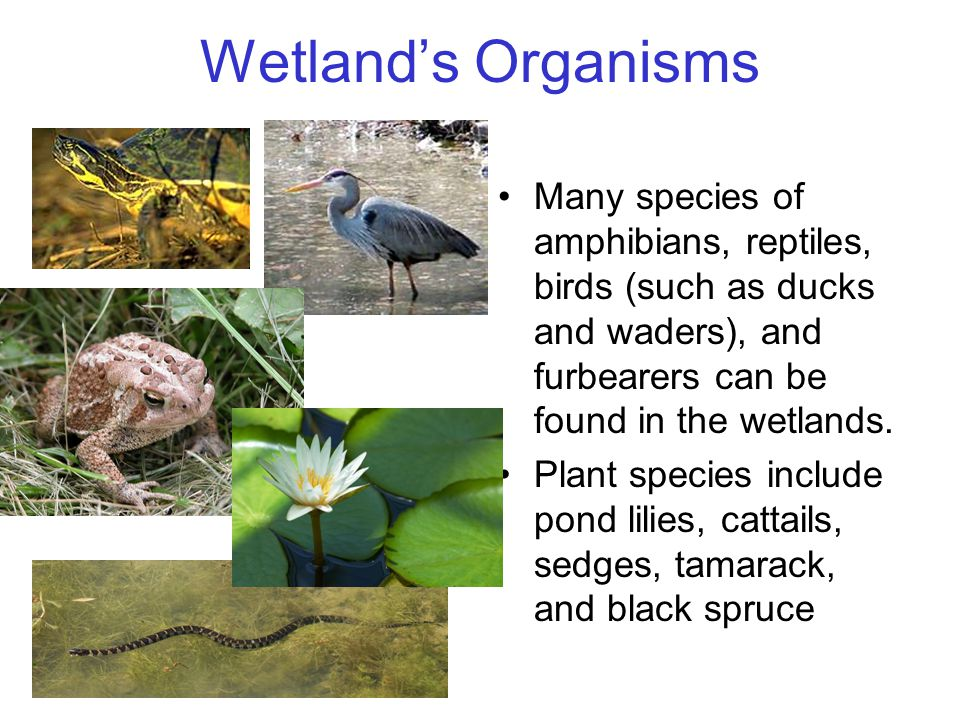 Wetland's Organisms Many species of amphibians, reptiles, birds (such as ducks and waders), and furbearers can be found in the wetlands. Plant species